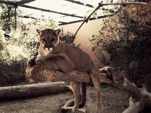 Male Mountain Lion laying on a tree branch